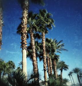 Las Vegas Palm Trees