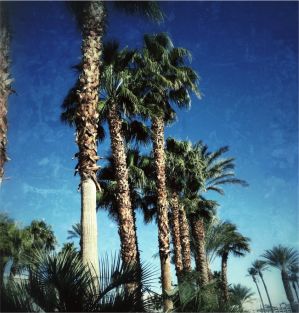 Las Vegas Palm Trees